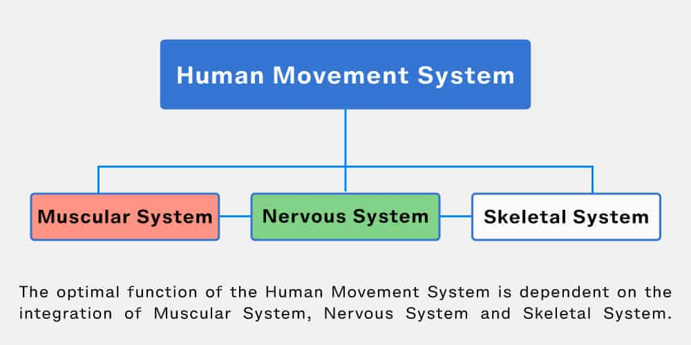Corrective Exercise and the Human Movement System